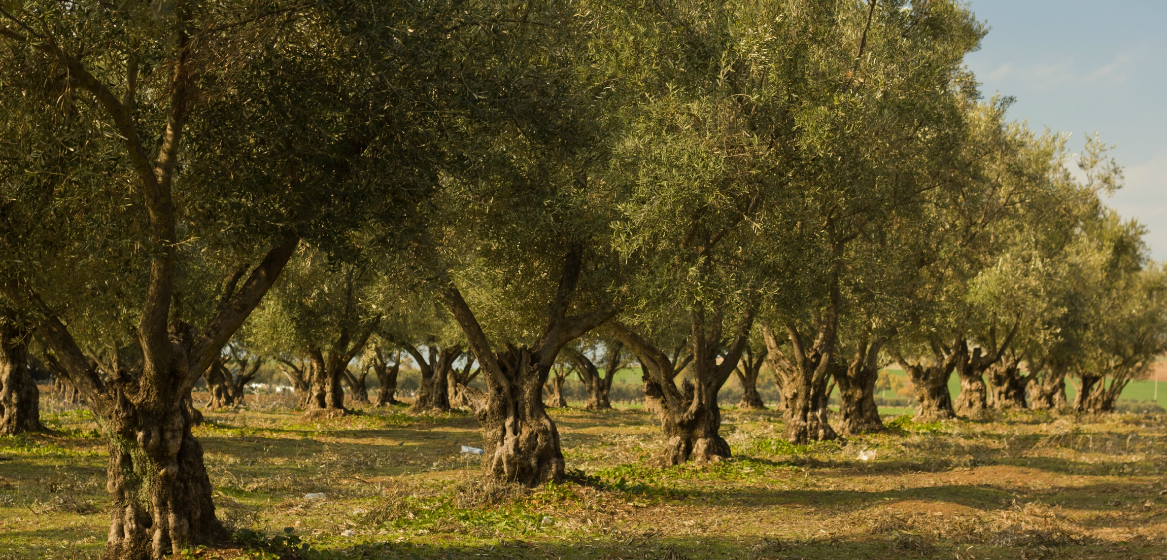 Our private olive groves